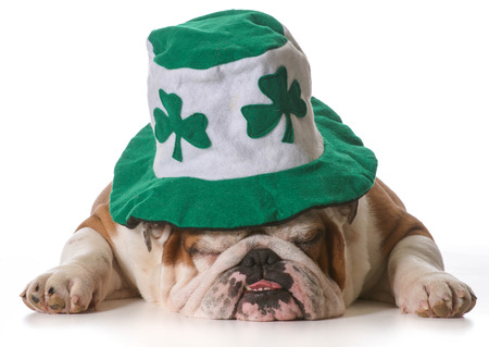 English bulldog wearing St Patrick's Day hat isolated on white