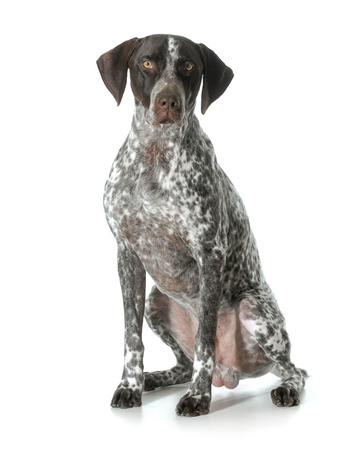 german shorthaired pointer - male