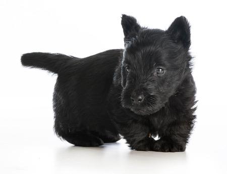 Risultati immagini per scottish terrier white background
