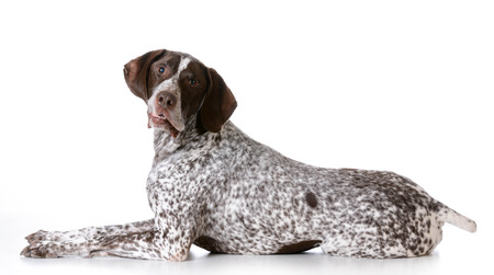 senior dog - german shorthaired pointer with silly expression on white background