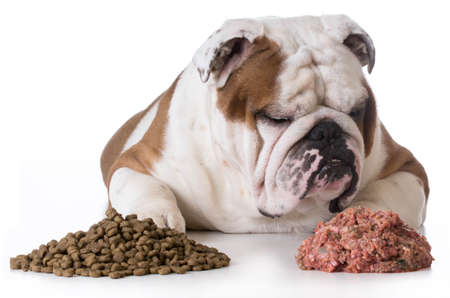 dog choosing raw over kibble - bulldog