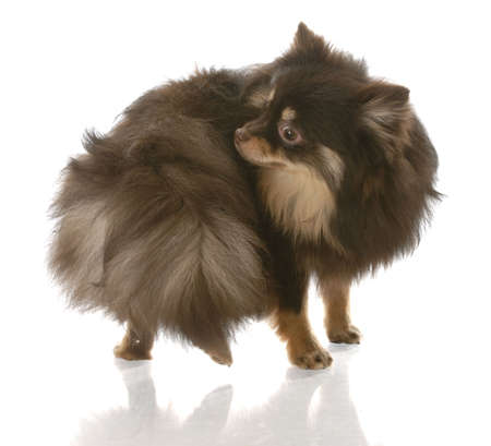 pomeranian puppy chasing her tail or smelling her backside