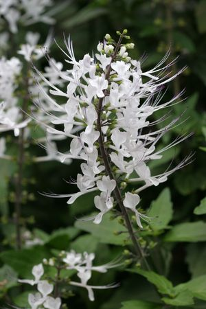 close up of flower on Cat's Whiskers plant