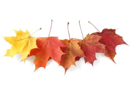 five bright autumnal maple leaves on white