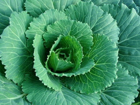 ornamental cabbage growing on the bed
