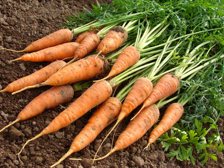 fresh carrots bundle