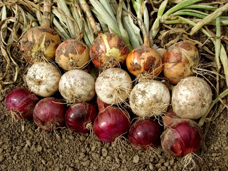 harvested home grown onion bulbs different varieties