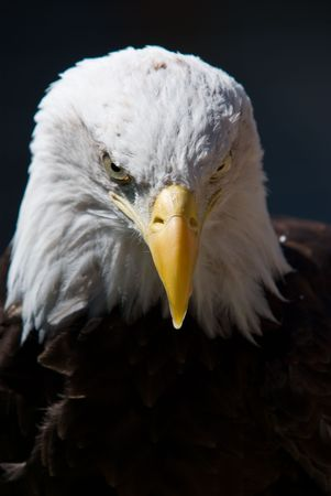 A Bald Eagle looking at you on a dark background