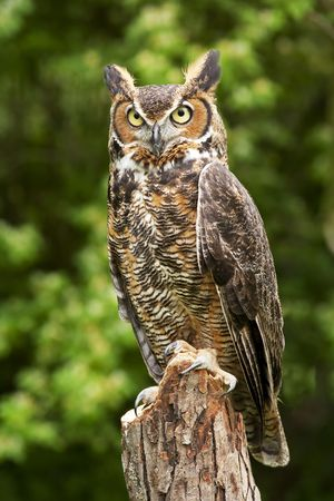 Portrait of a great horned Owl Bubo viriginianus
