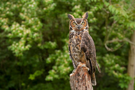 Portrait of a adult Great Horned Owl Bubo viriginianus