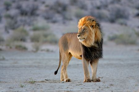 Big male African lion (Panthera leo), in late afternoon light, Kalahari desert, South Africa