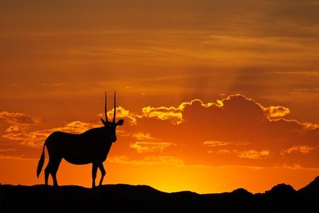 Gemsbok antelope (Oryx gazella) silhouetted against a red sky, Kalahari desert, South Africa