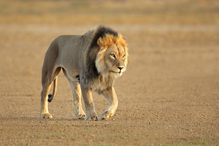 Big male African lion walking - Panthera leo, Kalahari desert, South Africa