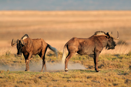 A pair of black wildebeest - Connochaetes gnou, South Africa