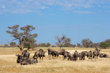 Small herd of blue wildebeest - Connochaetes taurinus, Kalahari desert, South Africa