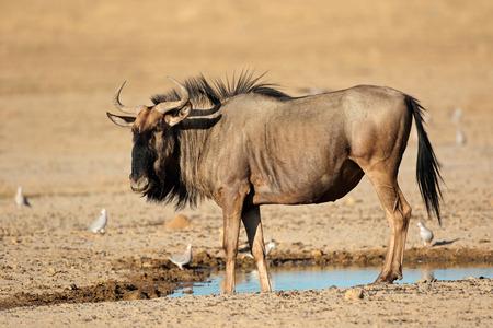 Blue wildebeest - Connochaetes taurinus - at a waterhole, Kalahari desert, South Africa