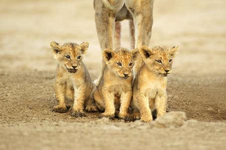 Three cute lions cubs (Panthera leo) sitting in a row, Kalahari desert, South Africa