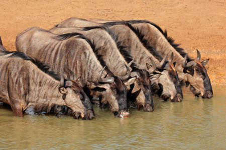 Blue wildebeest  Connochaetes taurinus  drinking water, Mkuze game reserve, South Africa
