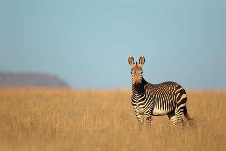 Cape Mountain Zebra - Equus zebra, Mountain Zebra National Park, South Africa