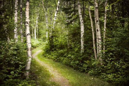 Hiking trail in lush green summer forest with white birch trees