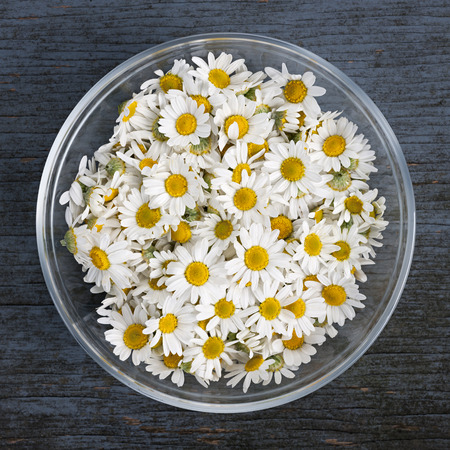 Fresh medicinal roman chamomile flowers in bowl on rustic wooden background, square format