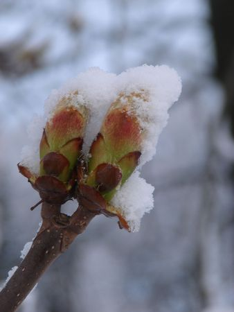 Snow-covered dissolved kidney of the chestnut plant