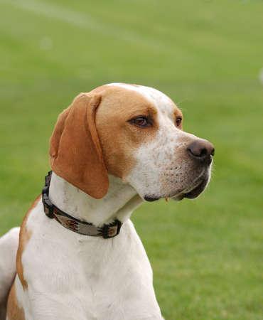 English Pointer dog puppy portrait in garden