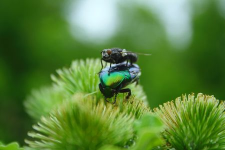 The annoying fly prevents to collect nectar
