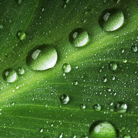 Water drops on fresh green leaf, isolated on white