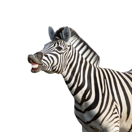 Laughing zebra isolated against white background; equus burchell's