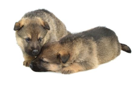 Germany sheep-dogs puppys isolated on white background