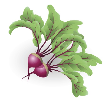 An illustration of two beetroot aka table beet, garden beet, red beet or beet