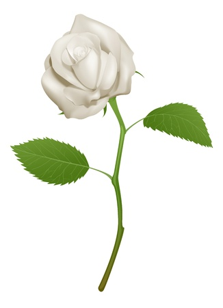An illustration of a beautiful white rose