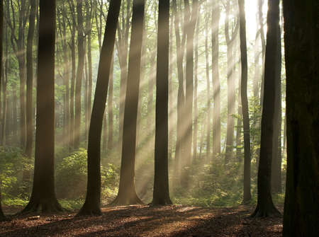 Sun rays crossing a misty forest photographed in an early autumn morning. Horizontal format.