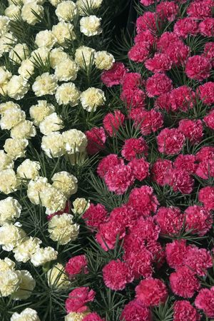 Pink and yellow carnations