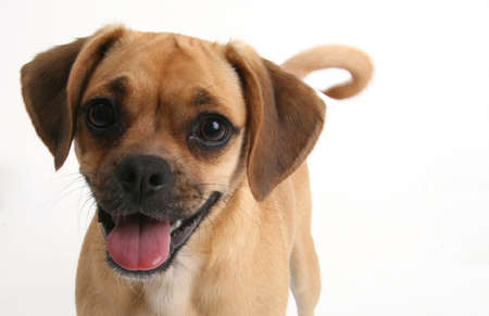 puggle puppy smiling