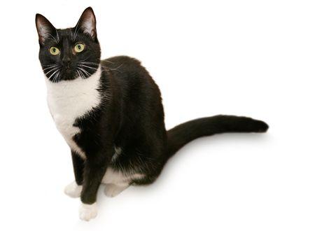 Beautiful tuxedo cat - Isolated