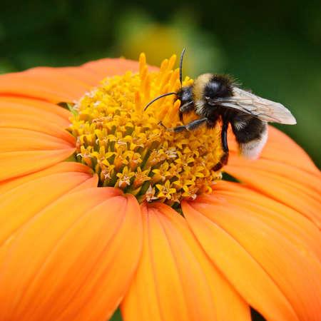 Big bumble bee on flower