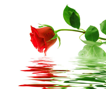 Beautiful red rose on white background with reflection in a water smooth surface