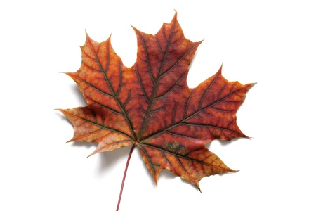 Autumn dry maple leaf on a white background