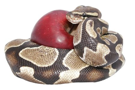 Snake and red apple isolated, temptation concept, includes