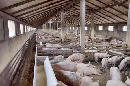 Big Hog Breeding Pig Farm