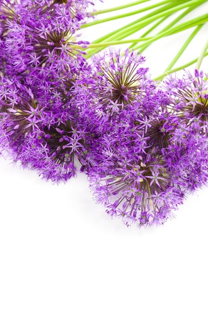 Bouqet of Allium / beautiful flowers / isolated on white