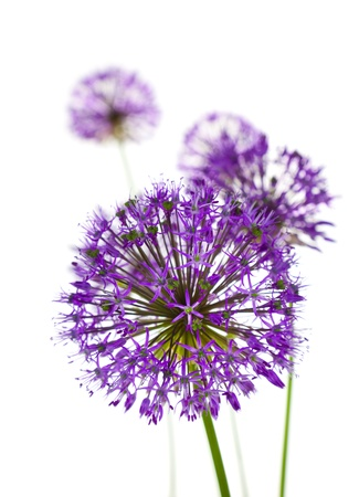Beautiful Allium / abstract vertical composition on white background