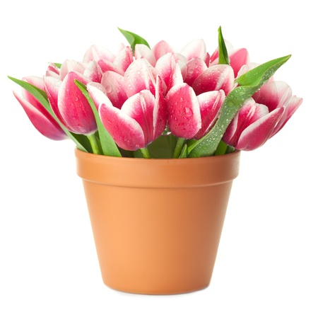 Flower Pot with pink Tulips / water drops / isolated on white background