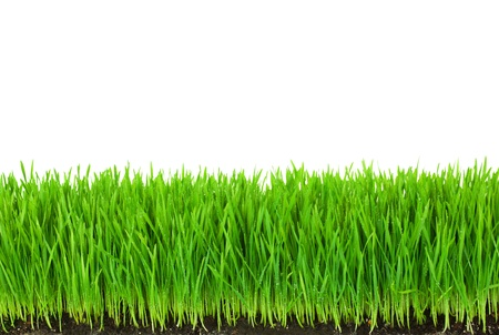 Green  Grass with Fertile Soil and Drops Dew   isolated on white with copy space