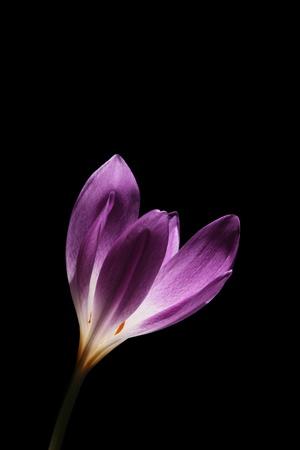 Colchicum is also known at Autumn Crocus or Meadow Saffron