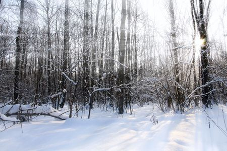 Sunbeams in winter forest. Nature background.