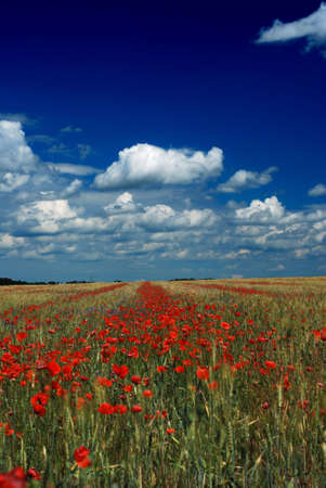wheat and poppies meadow