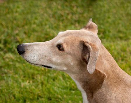 Head study of a beautiful hound dog